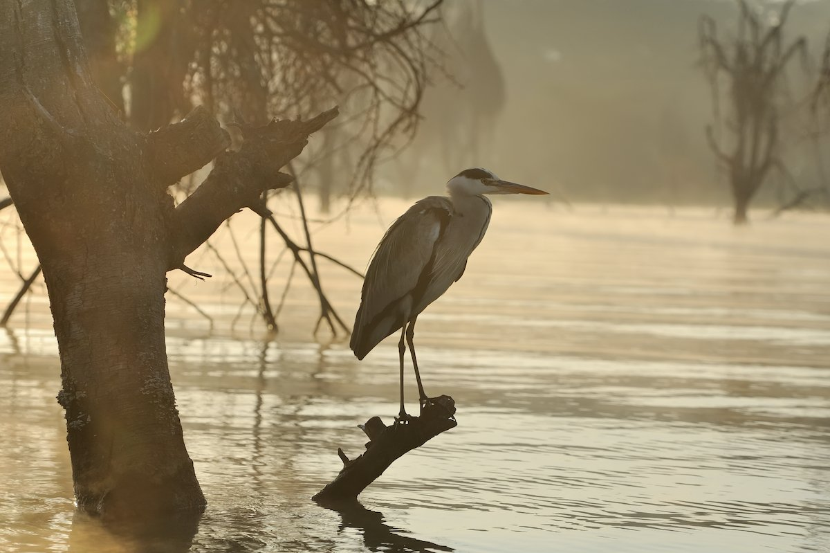 Close-up gray heron on branch in river sunset coast